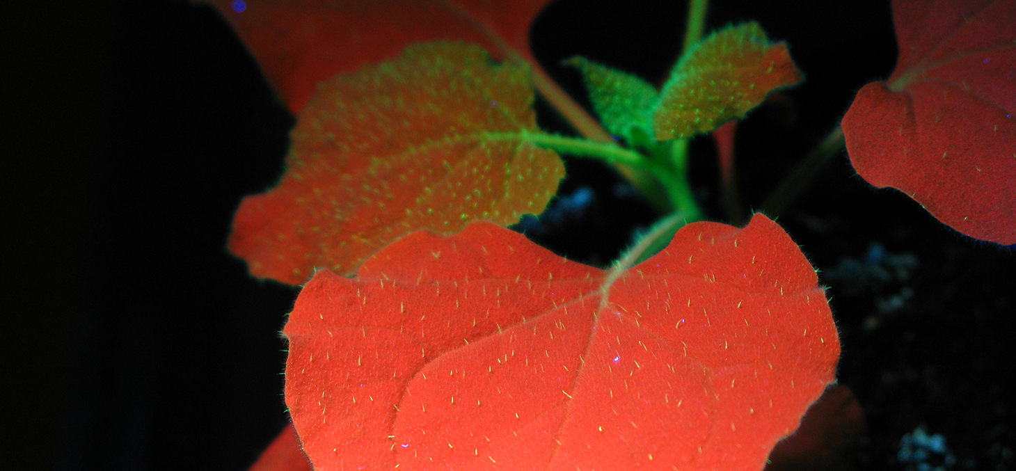 Nicotiana benthamina chlorophyll autofluorescence
